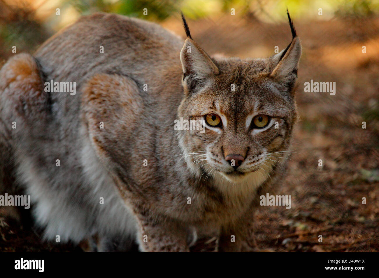 Eurasian lynx (Lynx lynx) - Stock Image