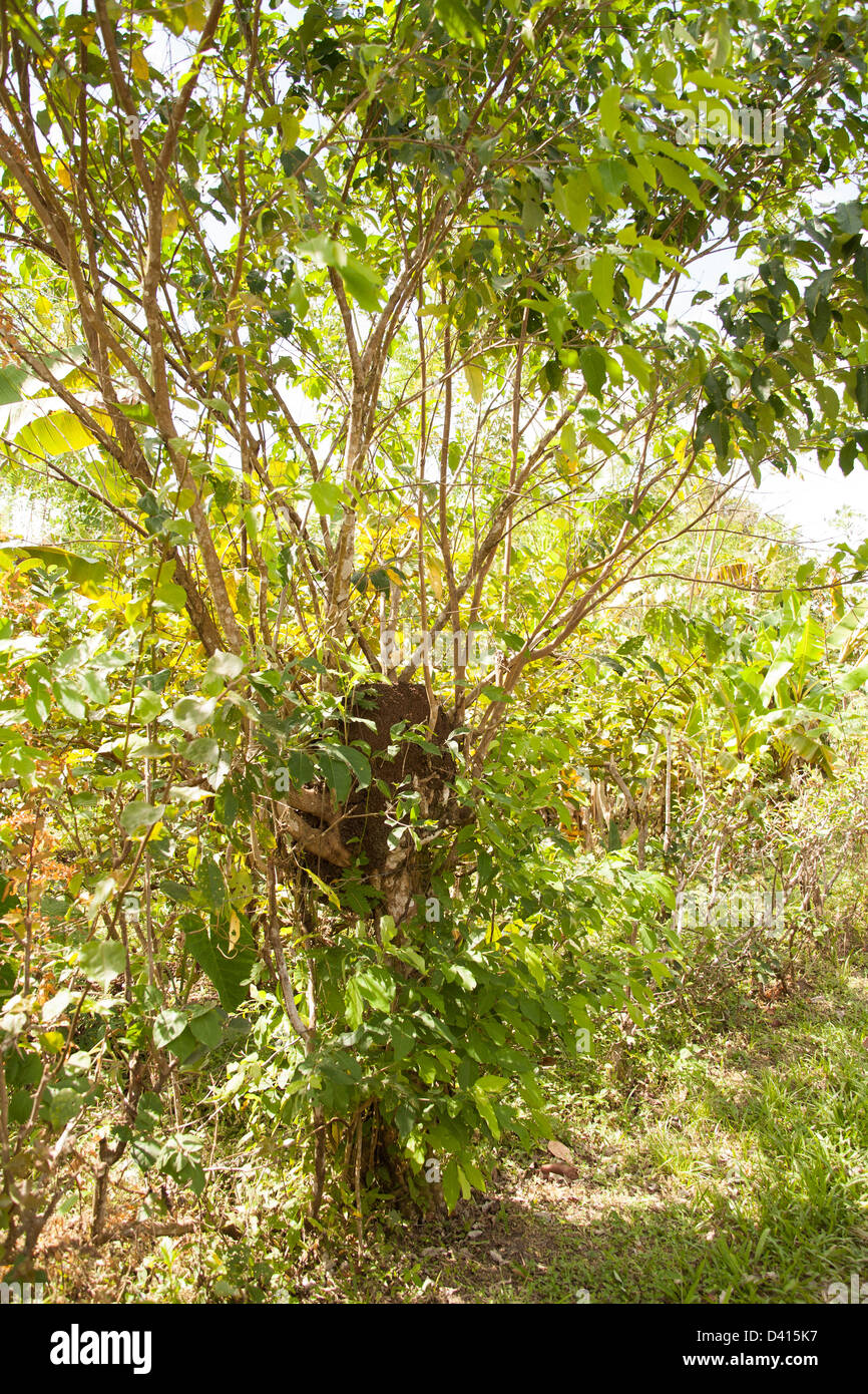 Termite mound in a tree on a farm in Panama. - Stock Image
