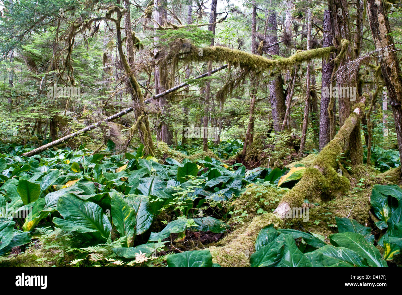 heavy undergrowth stock photos \u0026 heavy undergrowth stock images alamy Strawberry Diagram thick forest and heavy mossy undergrowth in the great bear rainforest, bella coola valley,