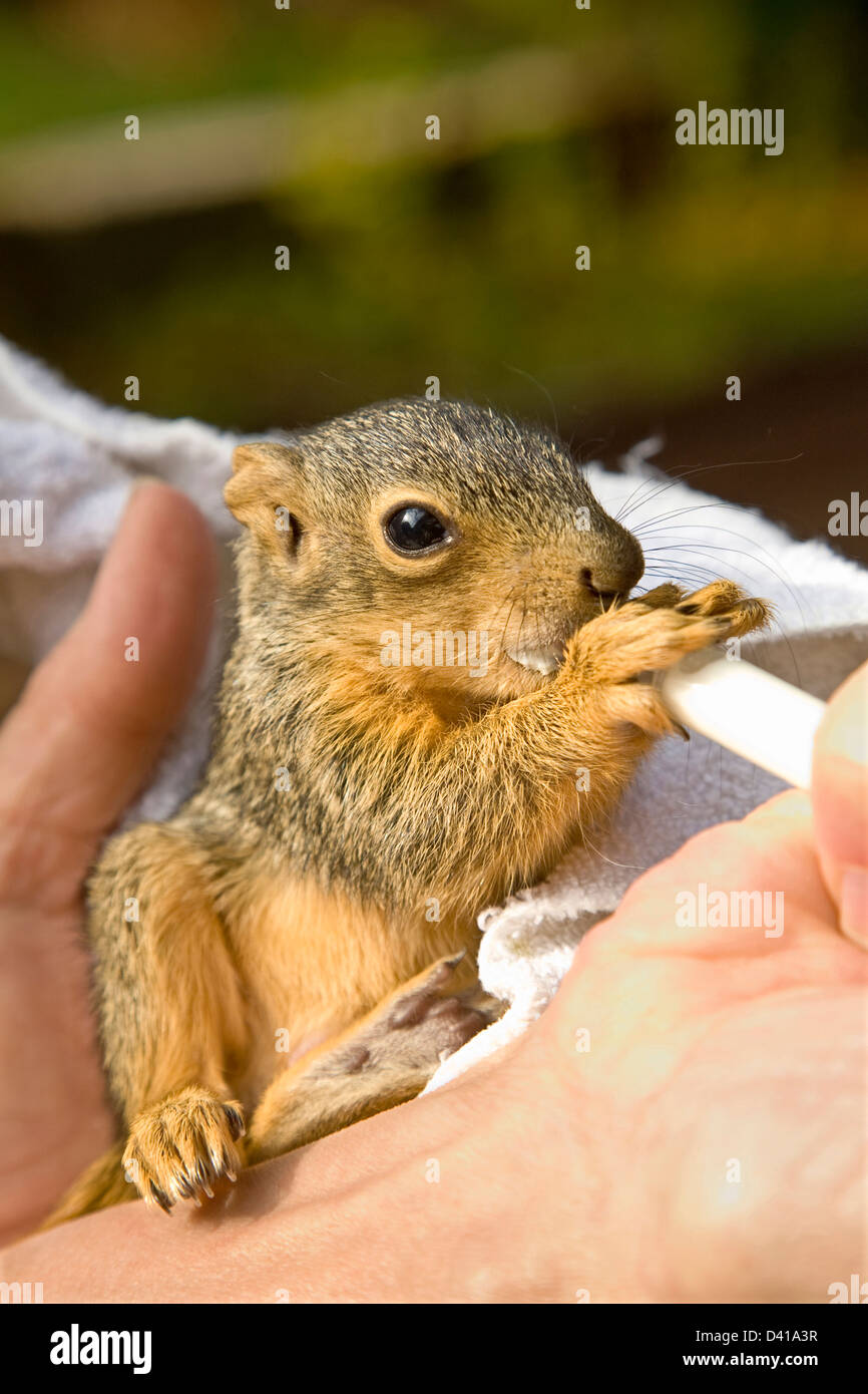 Red Fox infant squirrel eats and holds syringe tube held by female hand outdoors - Stock Image