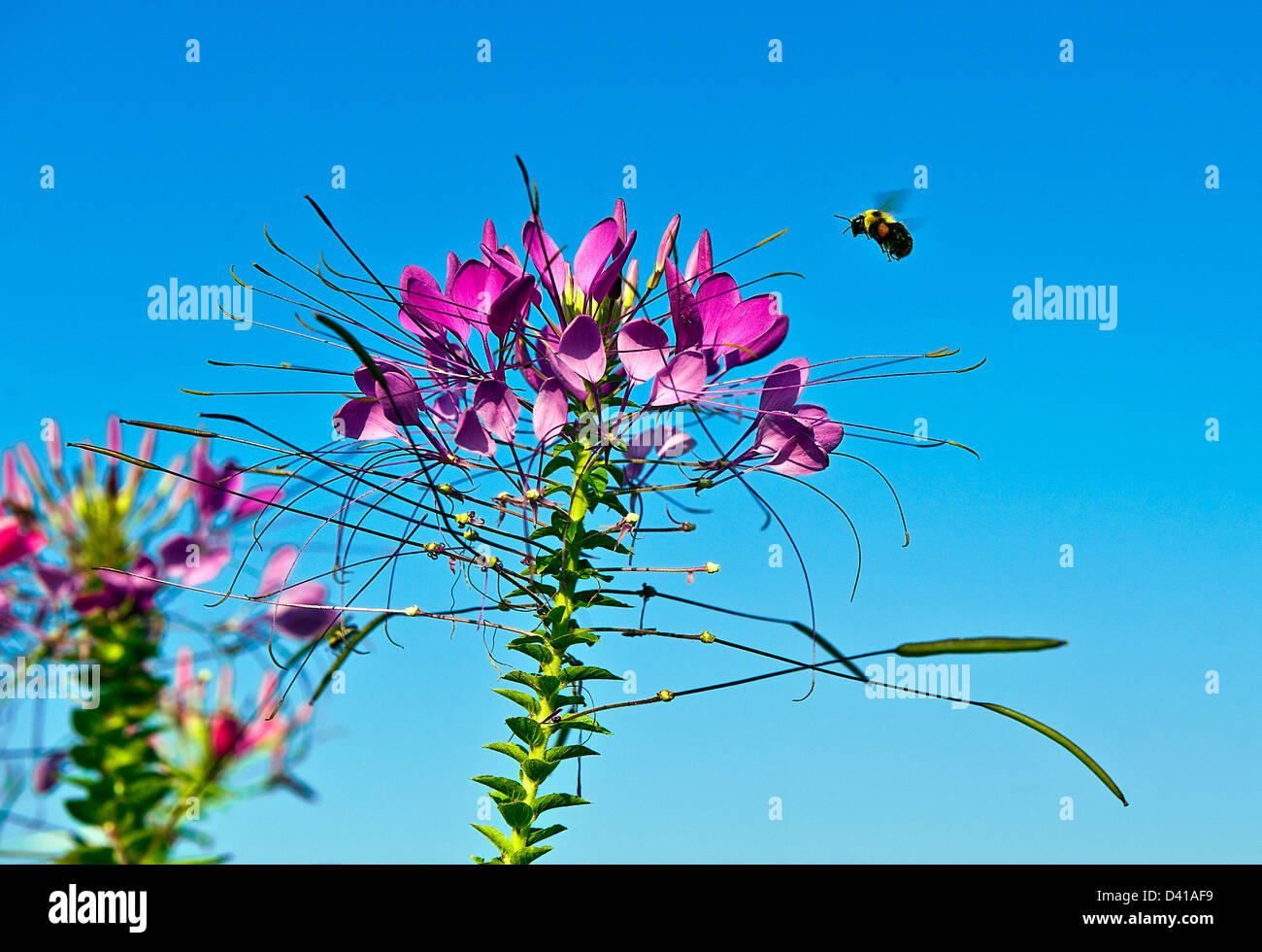 Bee searching for pollen from a flower. - Stock Image