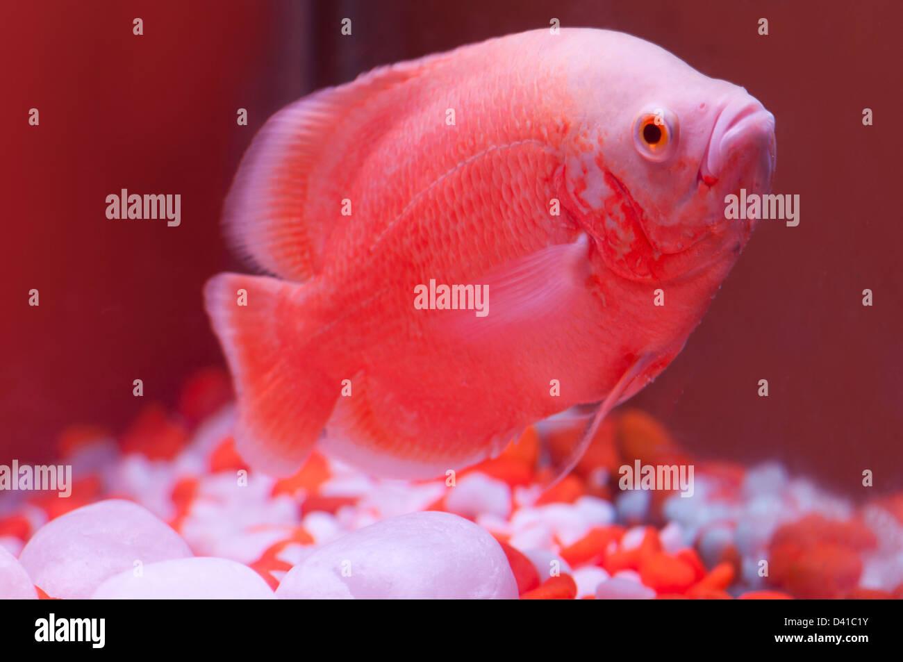 Red fish in aquarium - Stock Image