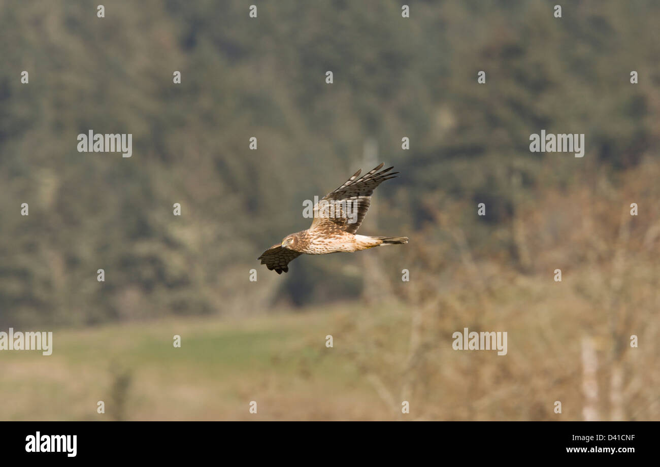 Northern Harrier (Circus cyaneus) in flight in winter, North California, USA Stock Photo