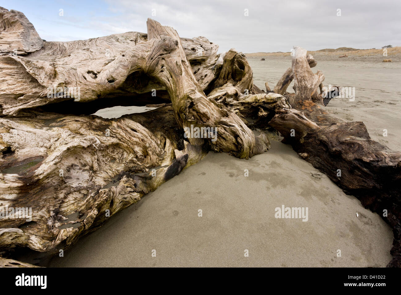 Washed up giant driftwood, Coast Redwood trunk, on pacific sandy beach at Arcata, California, USA - Stock Image