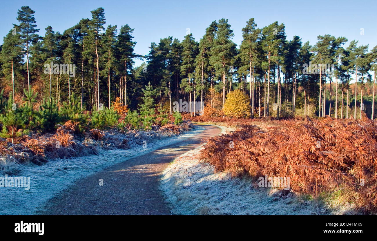 Stunning autumnal hues tints and colour from woodlands and forests on Cannock Chase Area of Oustanding Natural Beauty - Stock Image