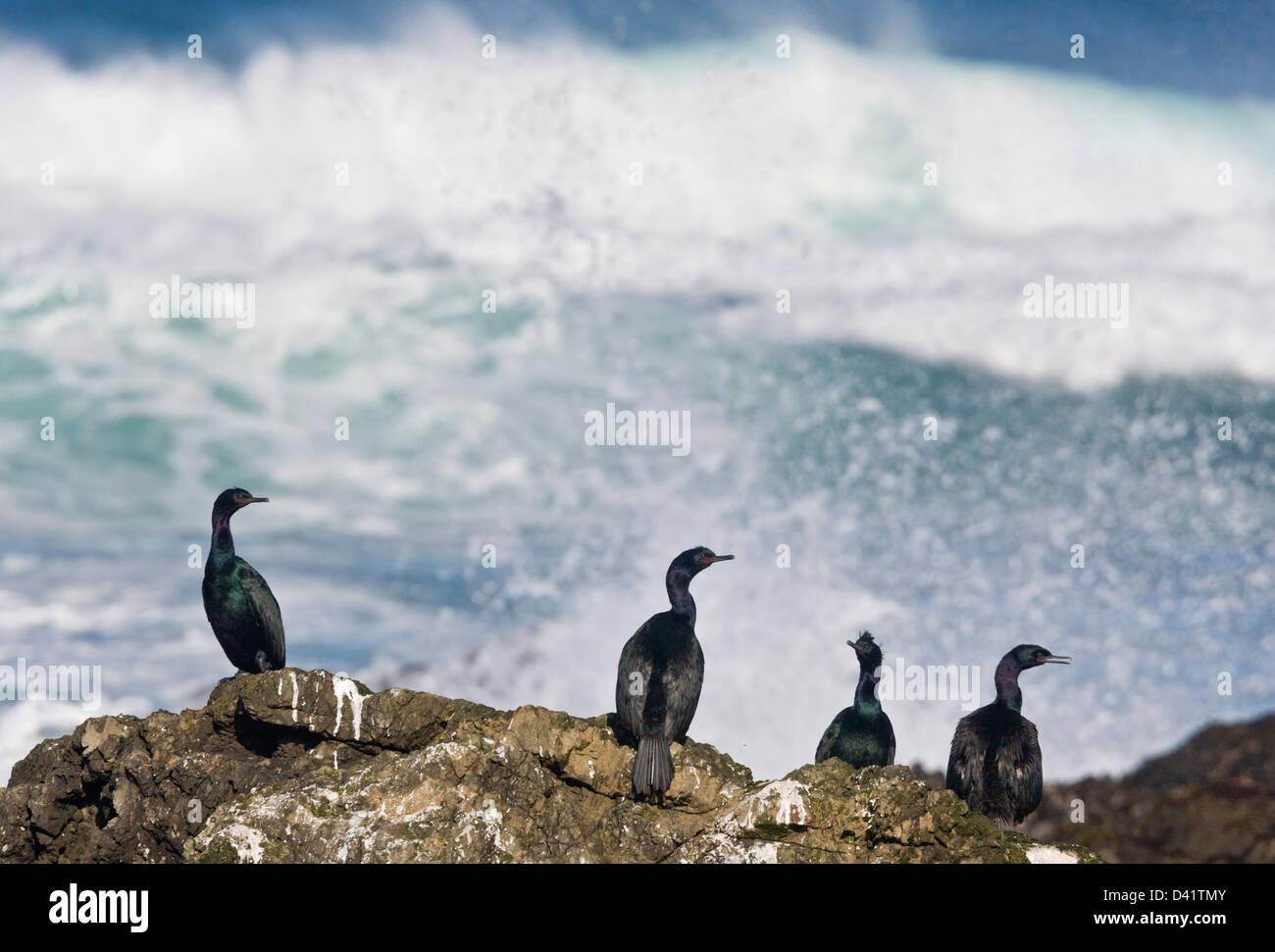 Pelagic Cormorants (Phalacrocorax pelagicus) on rocks by the sea, North California coast at MacKerricher State Park, - Stock Image