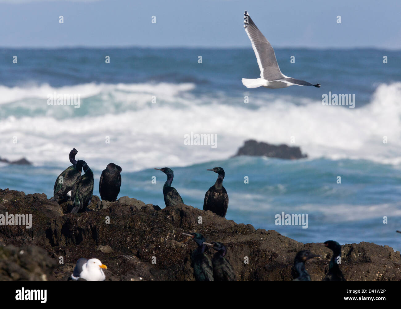 Pelagic Cormorants (Phalacrocorax pelagicus) on rocks by the sea, with Western Gull, MacKerricher State Park, California - Stock Image