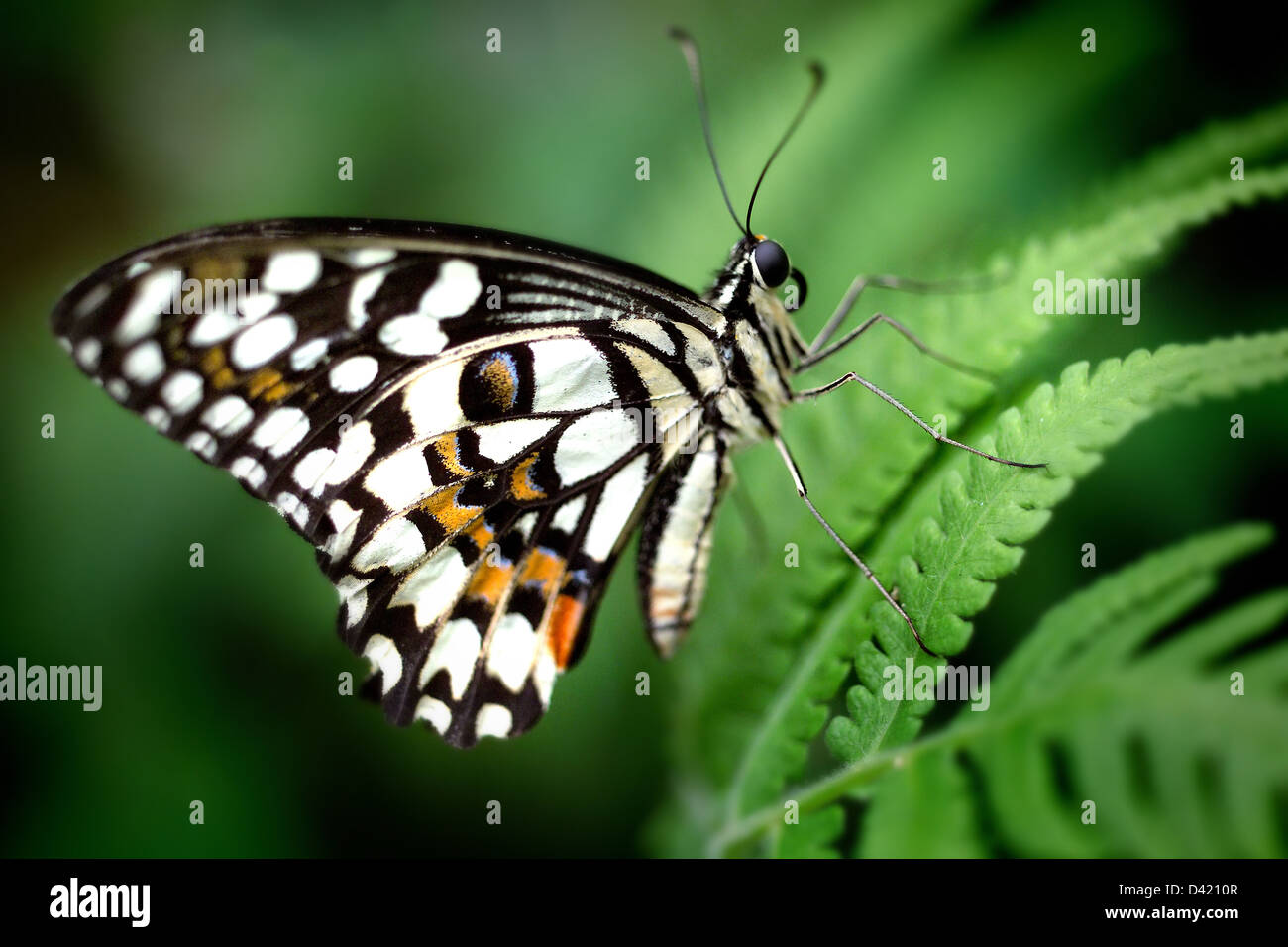 Exotic black white and orange butterfly stock photo 54134439 alamy
