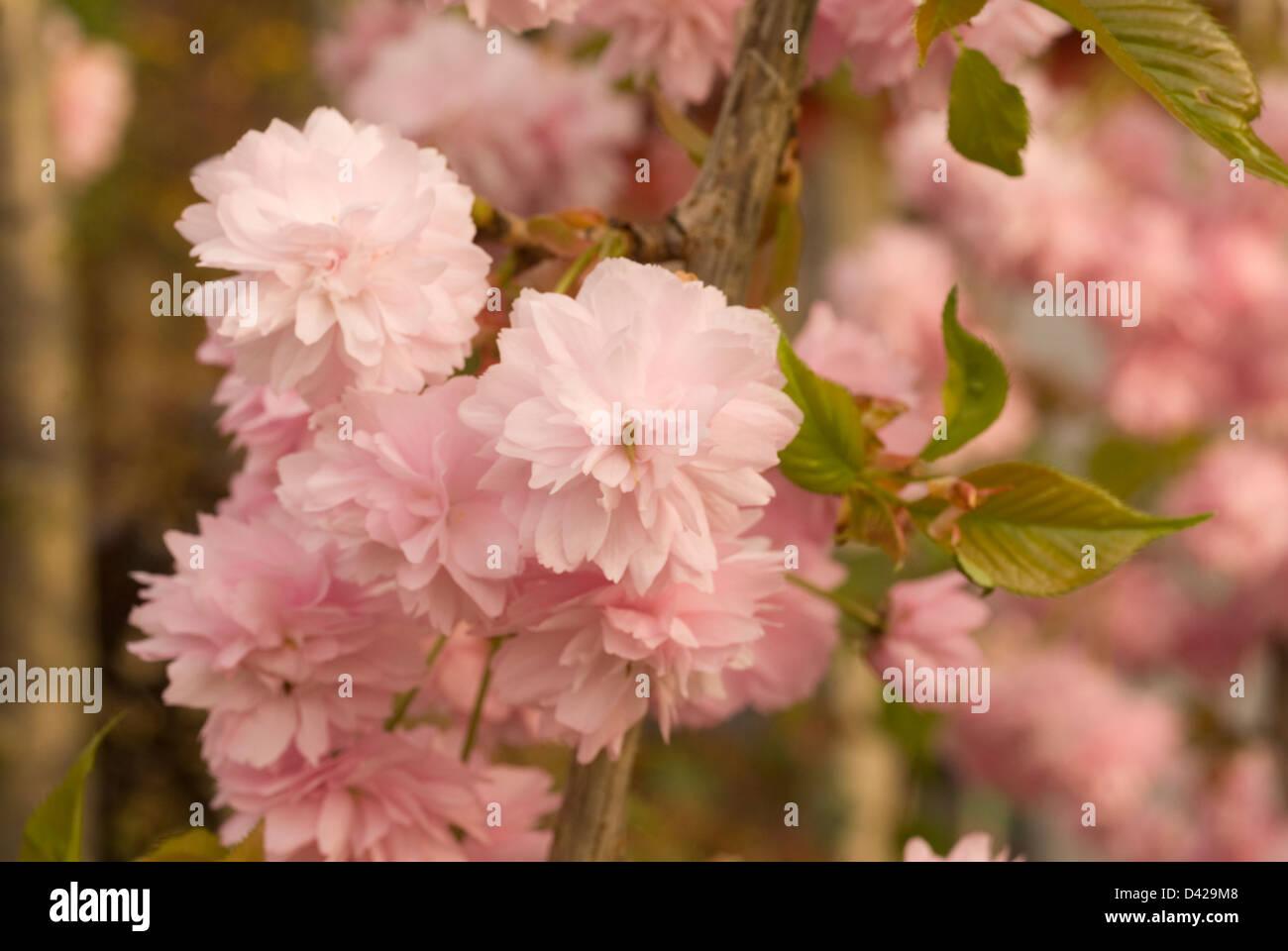 Japanese flowering cherry Prunus serrulata, Rosaceae - Stock Image