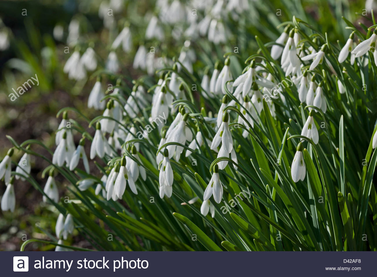 Galanthus limetree spring flower bulb february green white garden galanthus limetree spring flower bulb february green white garden plant galanthophile rare unusual expensive single snowdrop mightylinksfo