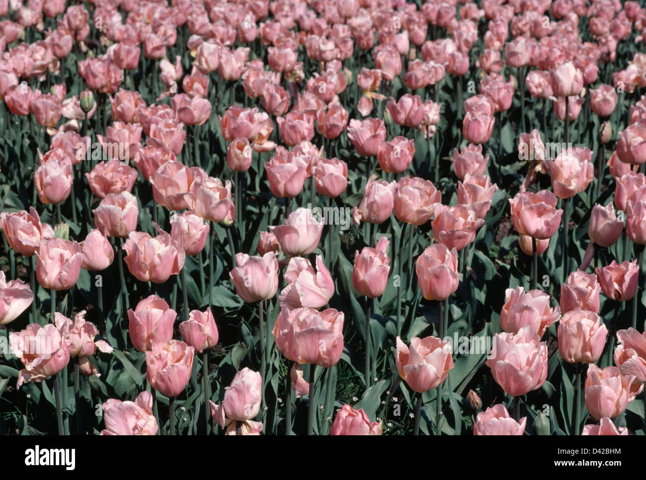 Close up of bed of Tulipa 'Apricot Beauty' - Stock Image