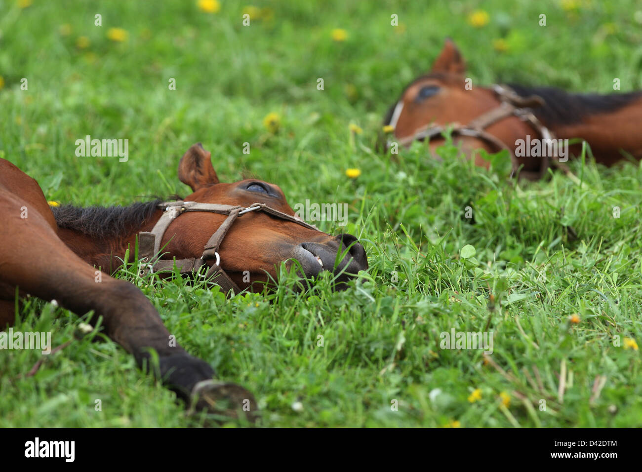 Görlsdorf, Germany, horses are in a deep sleep on the pasture - Stock Image