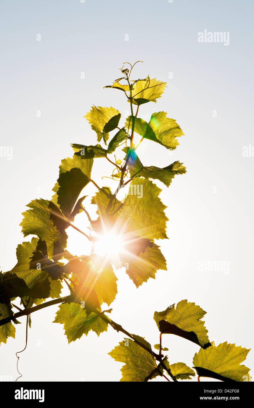grape vine tendril Stock Photo