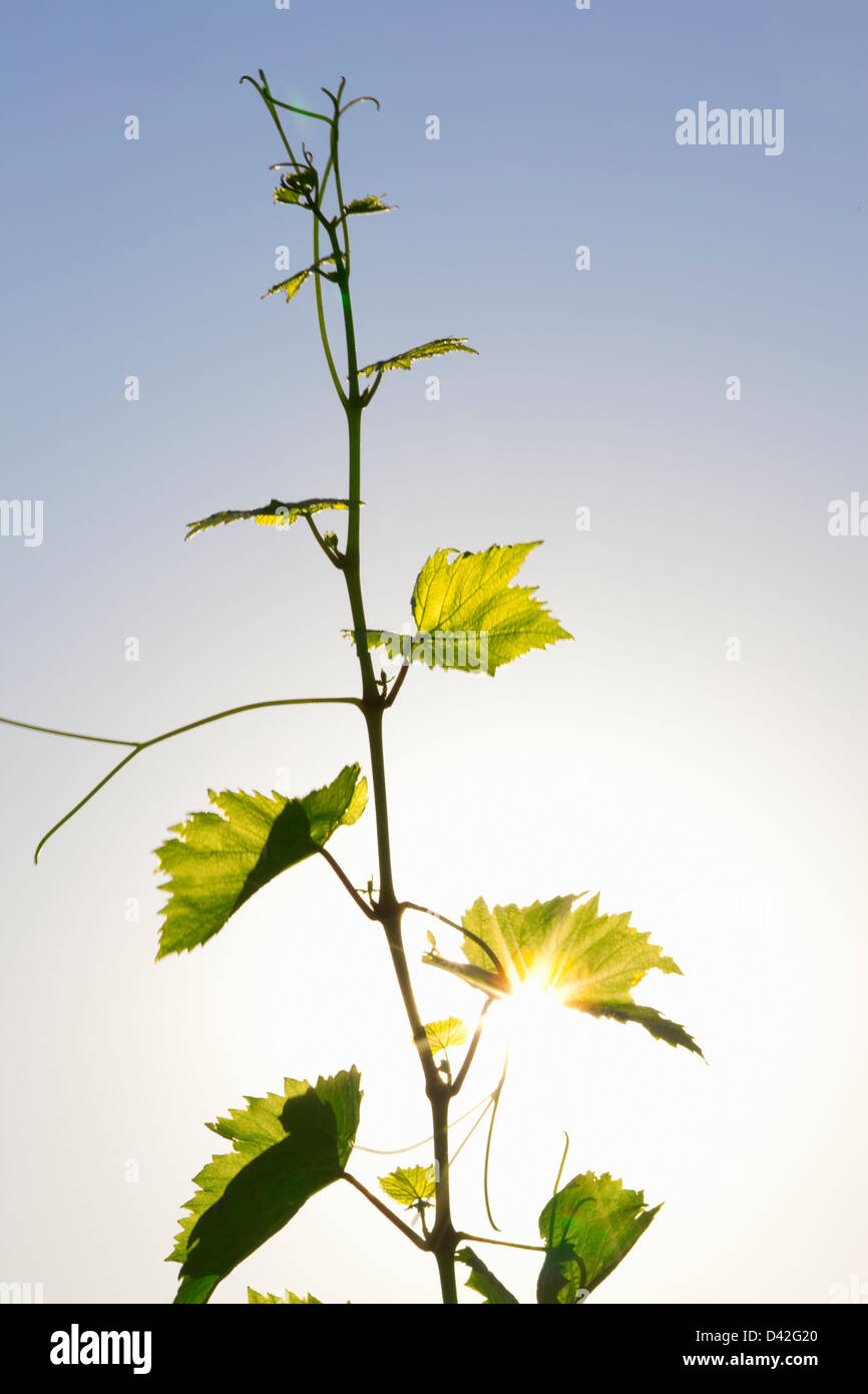 grape vine tendril - Stock Image