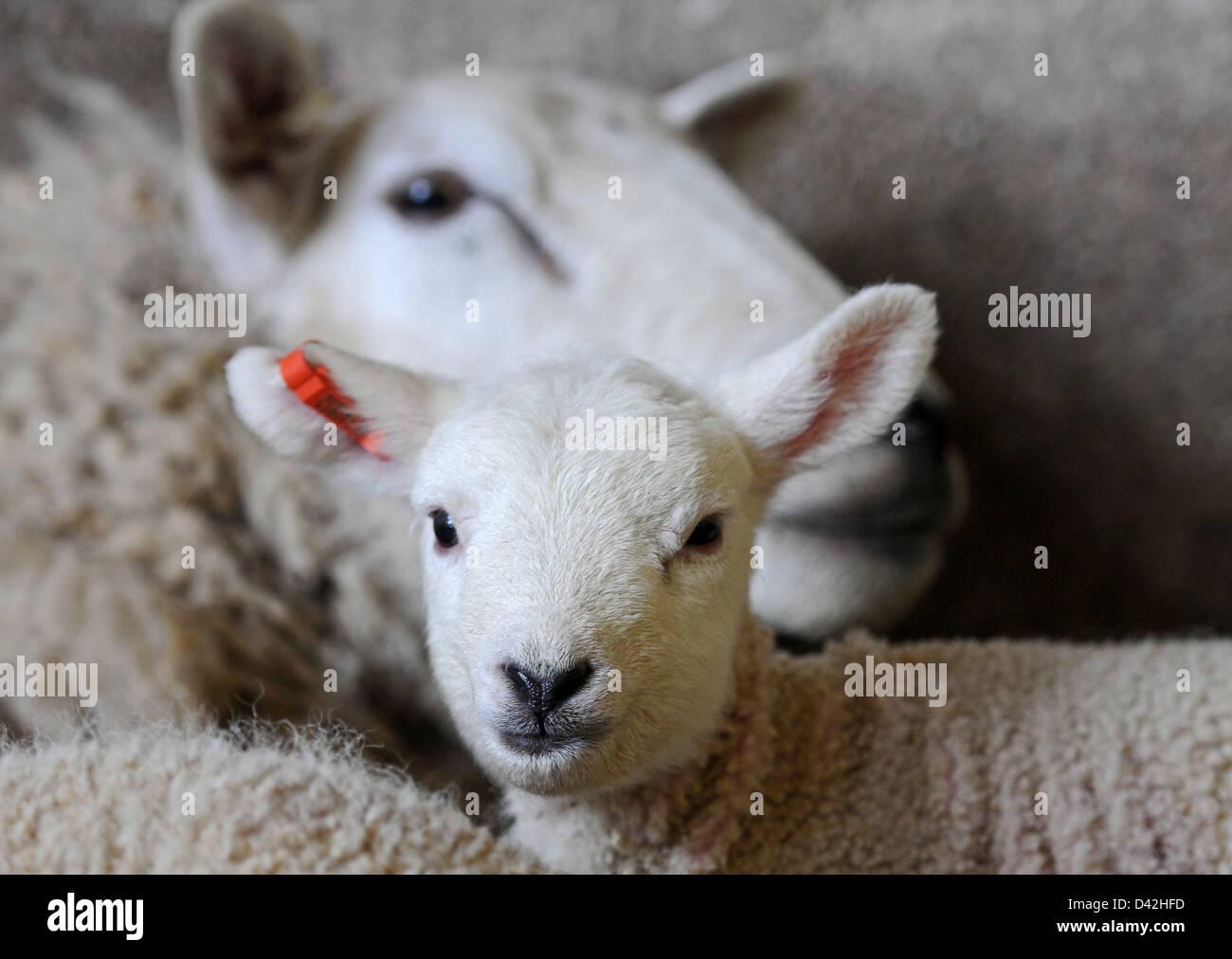Lamb, lambing, baby sheep, lambs - Stock Image