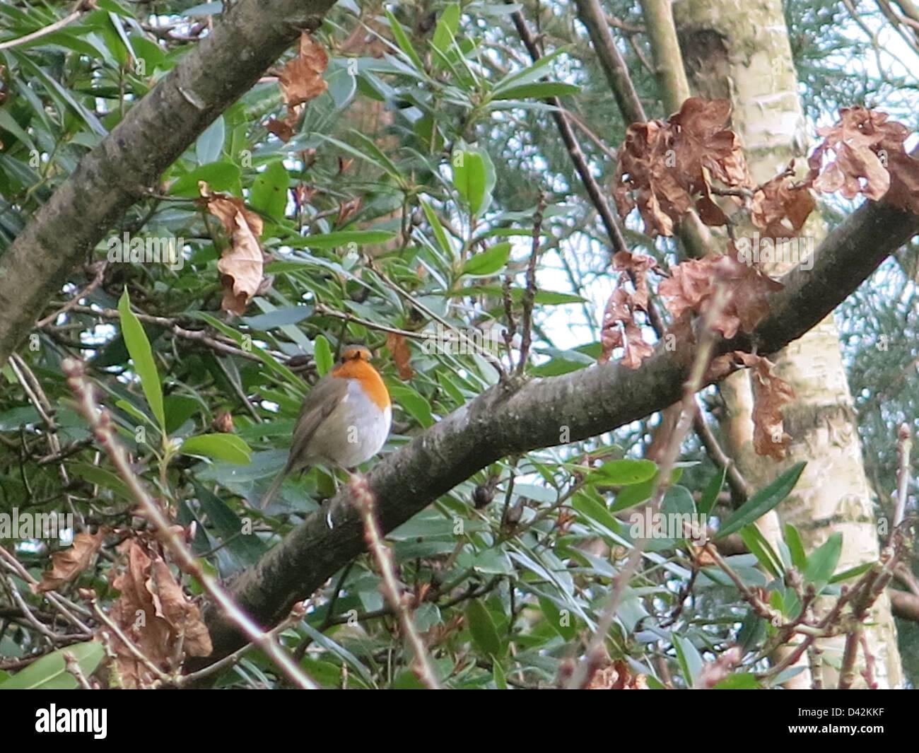 Robin the Gardeners Friend Feb 2013 - Stock Image