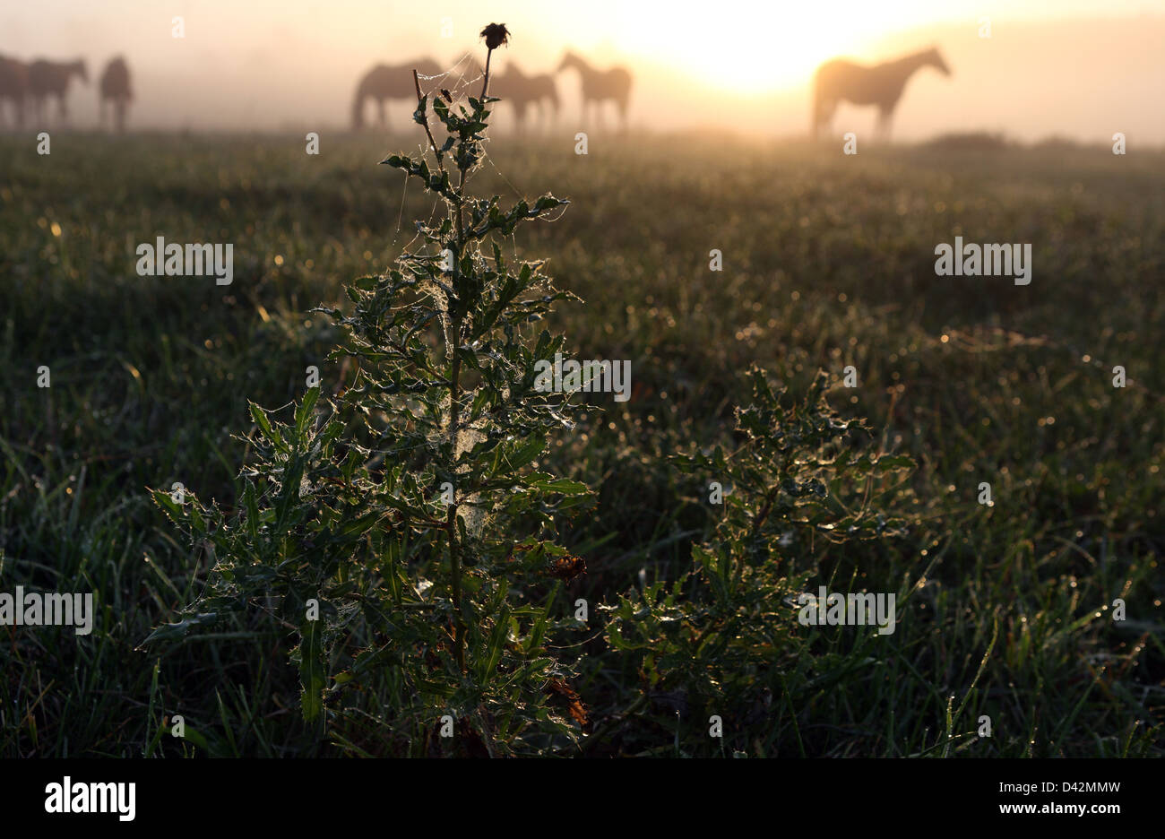 Görlsdorf, Germany, thistle and horses on pasture at sunrise - Stock Image