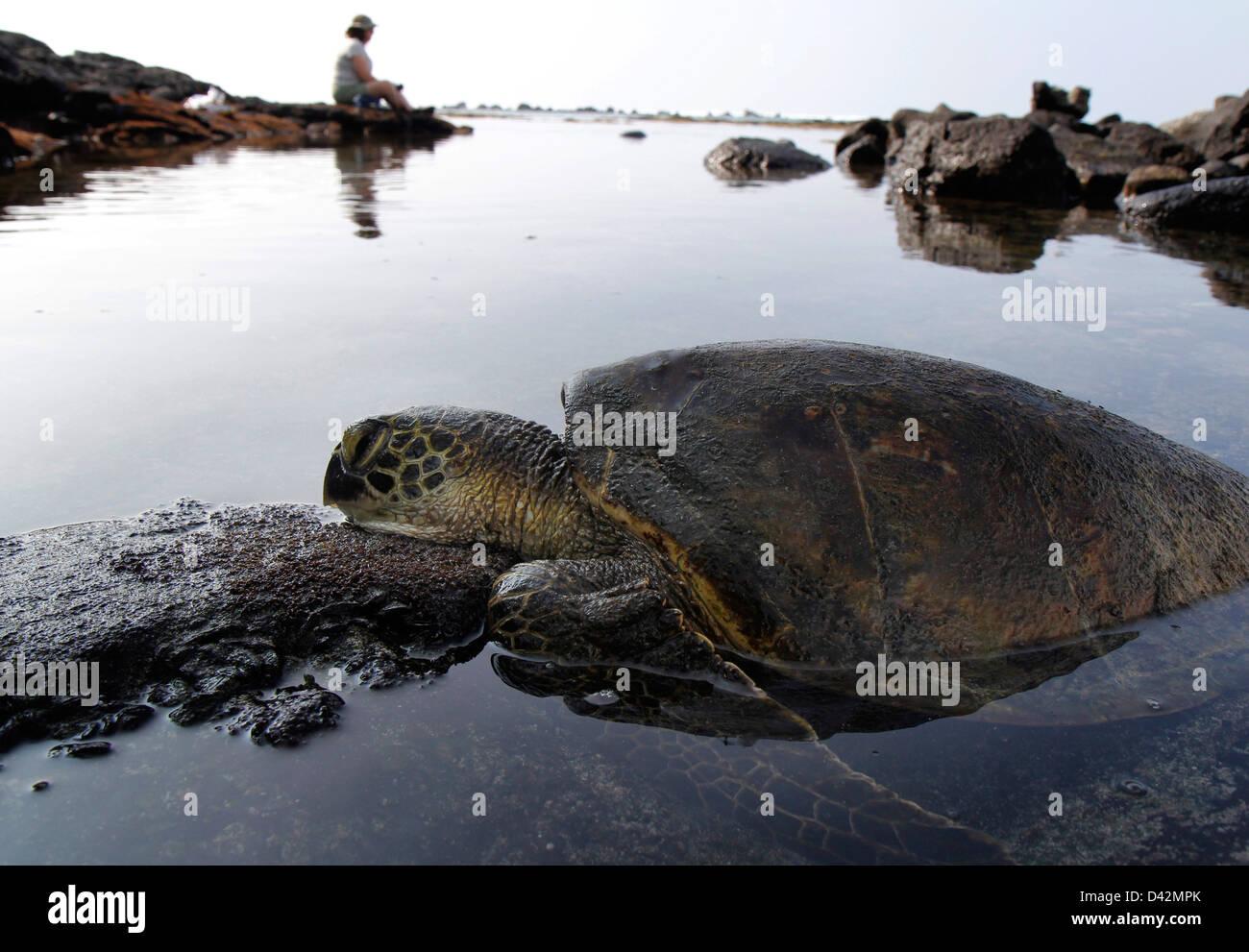 Green sea turtle basking near tourist on lava Hawaii the Big Island pacific ocean - Stock Image