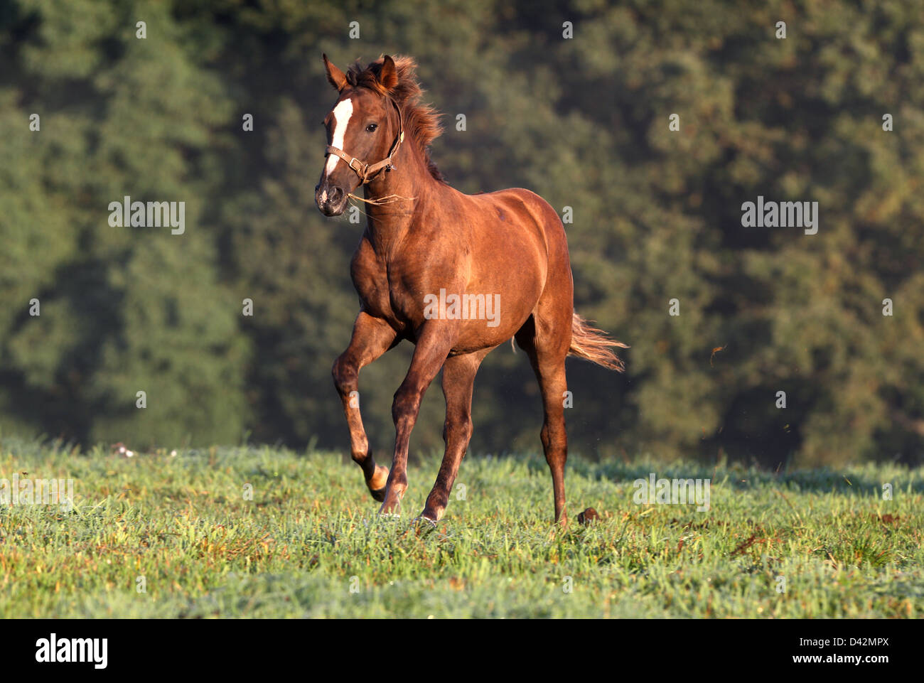 Görlsdorf, Germany, foal gallop on pasture - Stock Image