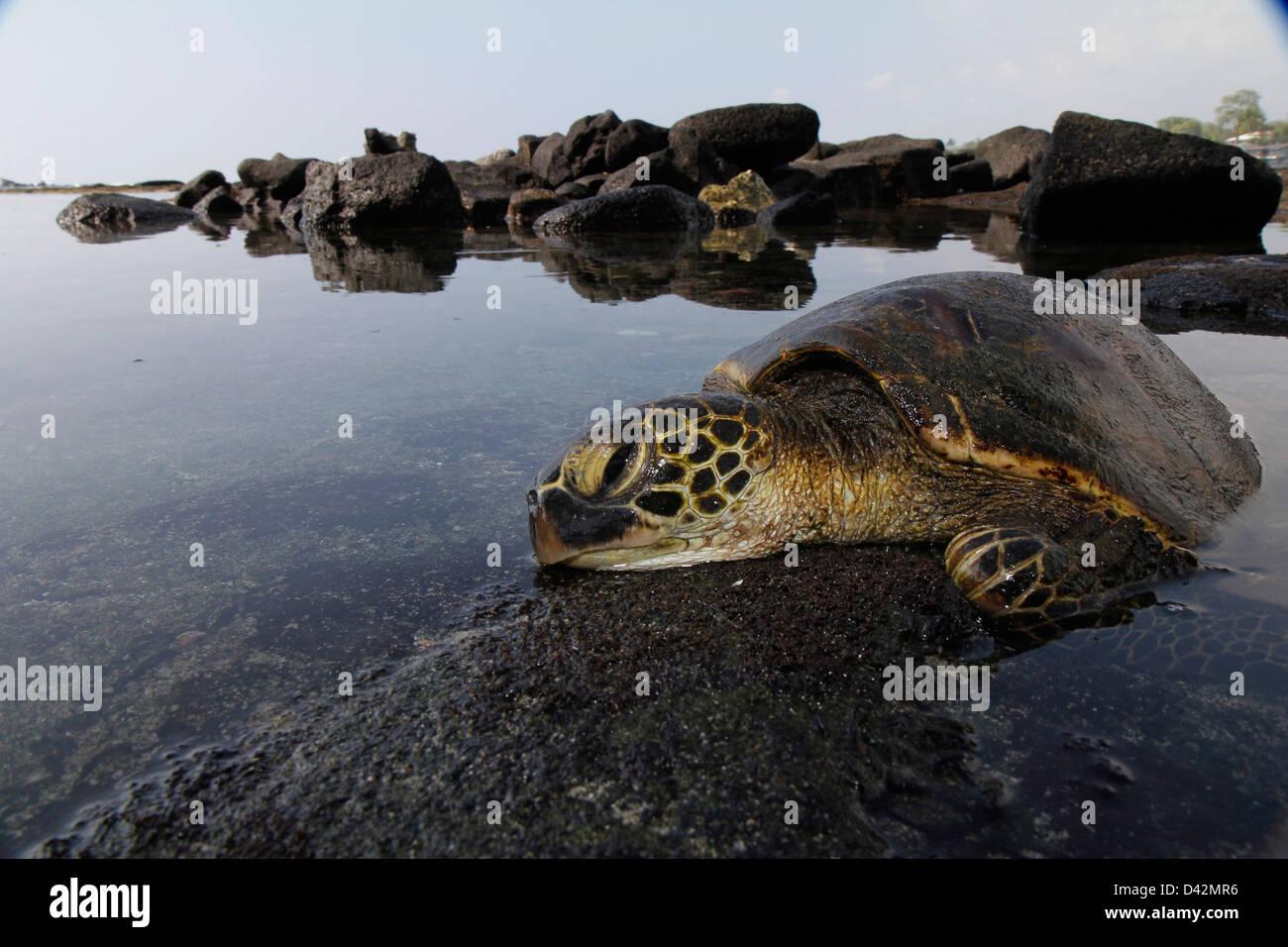 Green sea turtle basking on lava Hawaii the Big Island pacific ocean - Stock Image
