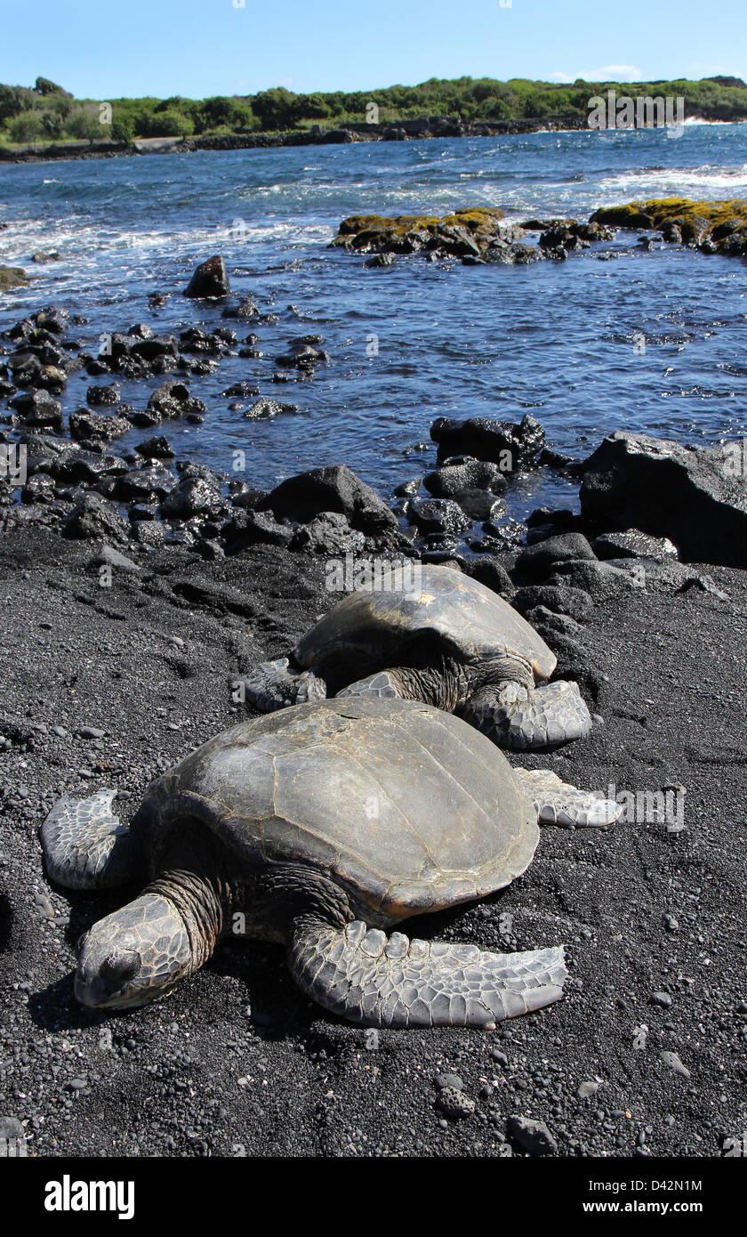 Green sea turtle basking on black sand beach Hawaii the Big Island pacific ocean - Stock Image