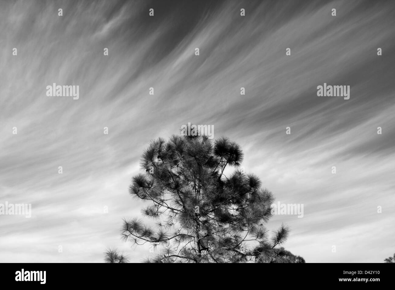 Cirrus clouds above a slash pine - Stock Image