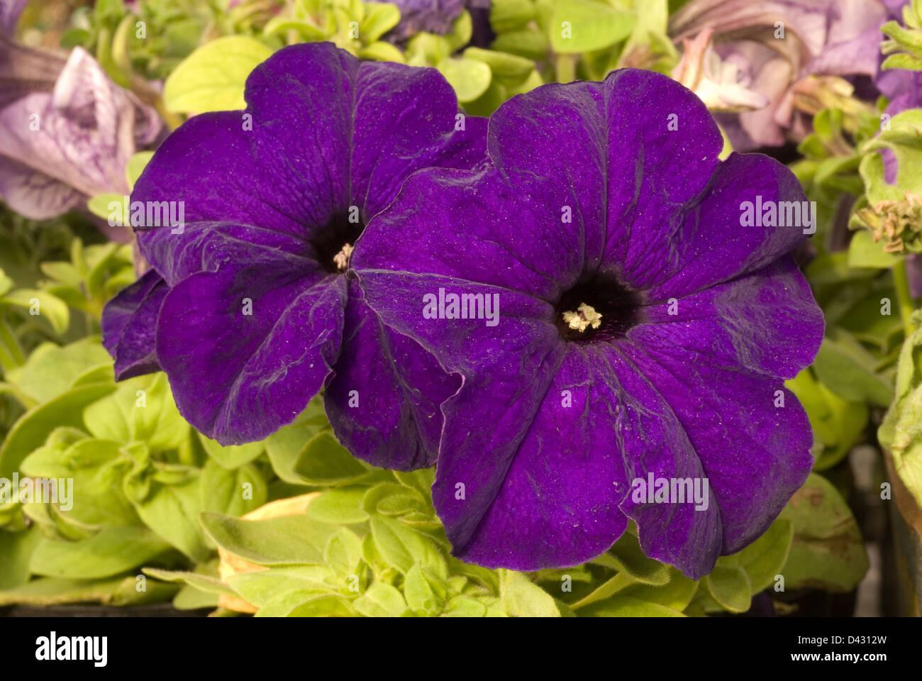 Petunia sp., Solanaceae - Stock Image