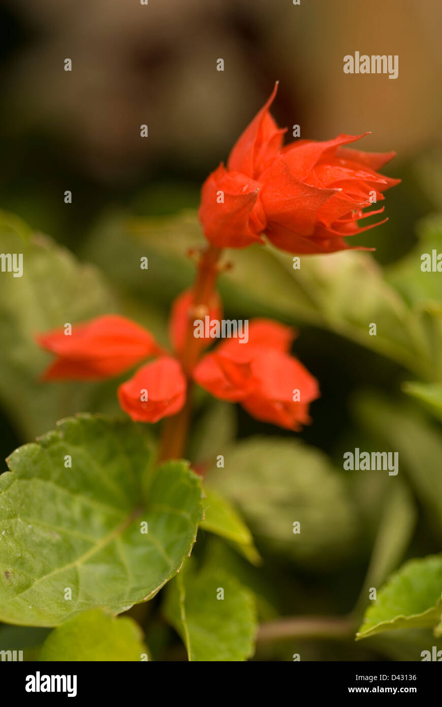 Scarlet sage Salvia splendens, Labiateae Stock Photo