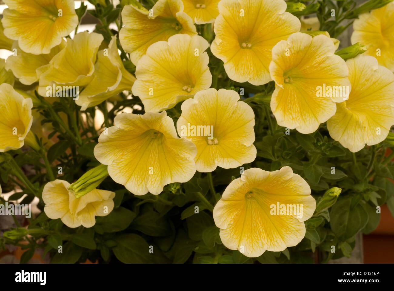 Petunia x hybrida 'Surfinia', Solanaceae - Stock Image