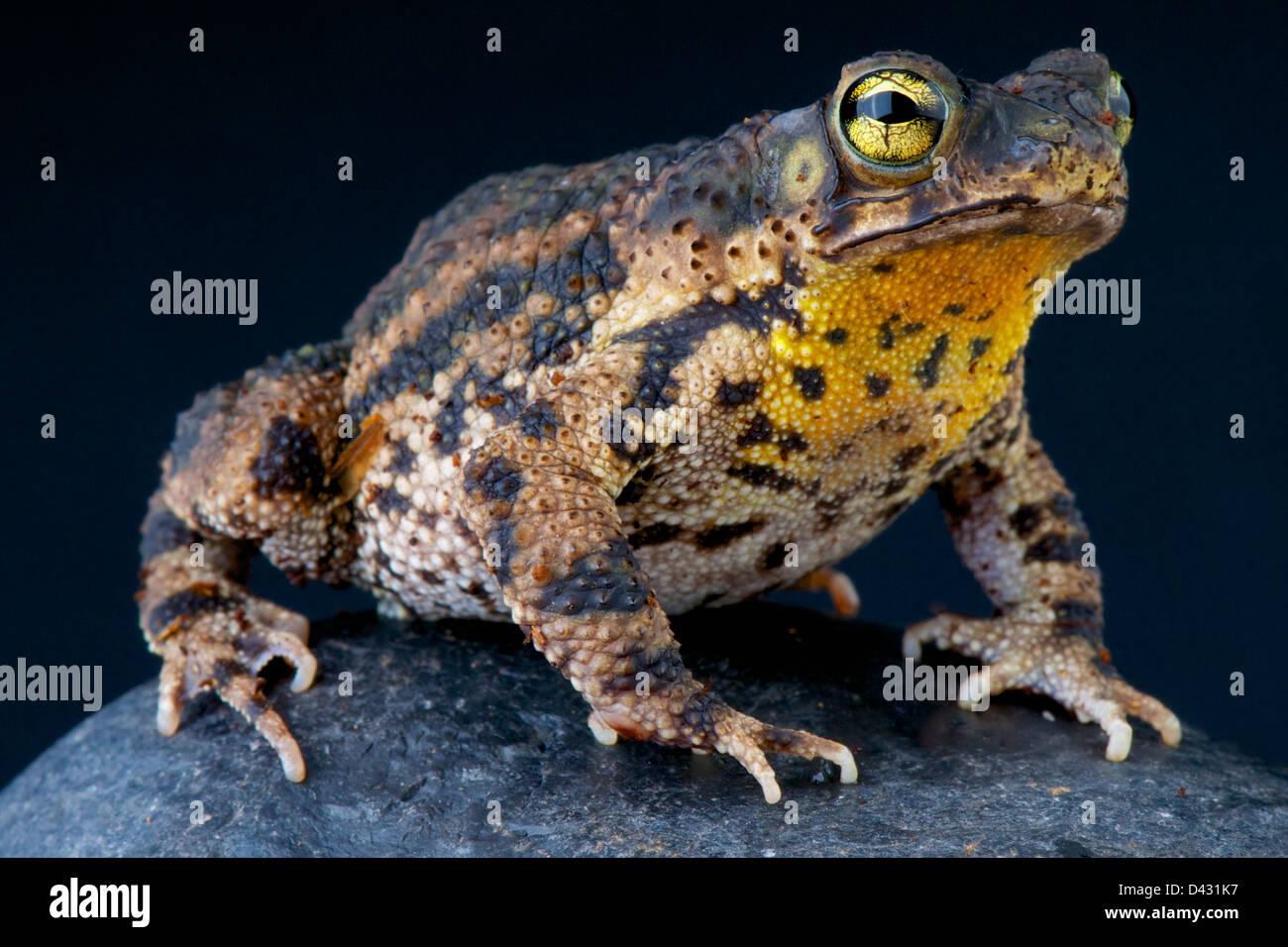 Warty toad / Rhinella granulosa - Stock Image