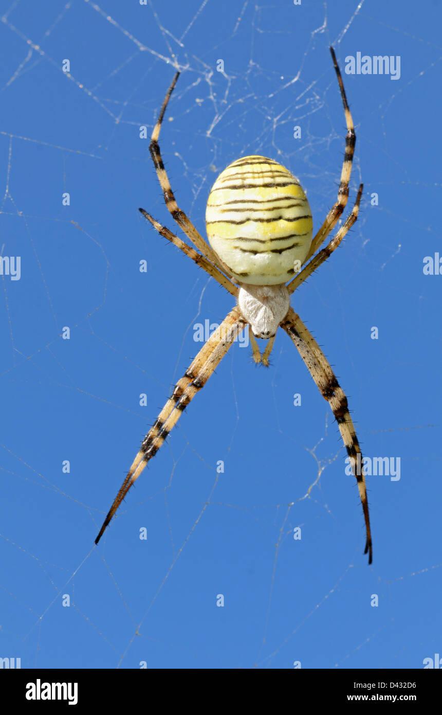 Orb Web Spider Argiope bruennichi in Web Against Blue Sky - Stock Image