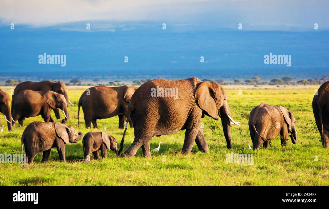African Elephant herd in Amboseli National Park, Kenya, Africa - Stock Image