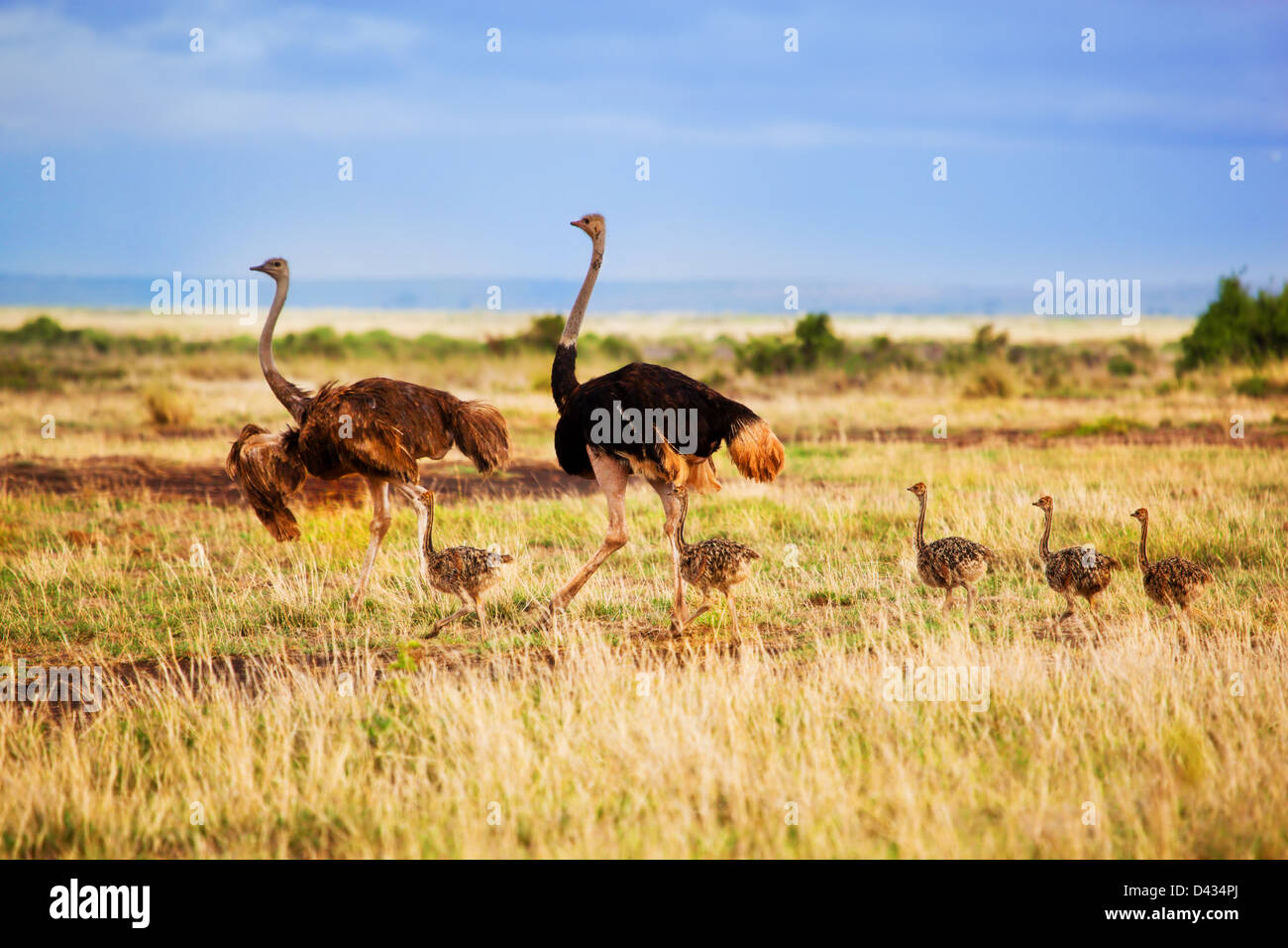 Ostrich family with baby ostriches walking on savanna in Africa. Safari in Amboseli, Kenya Stock Photo