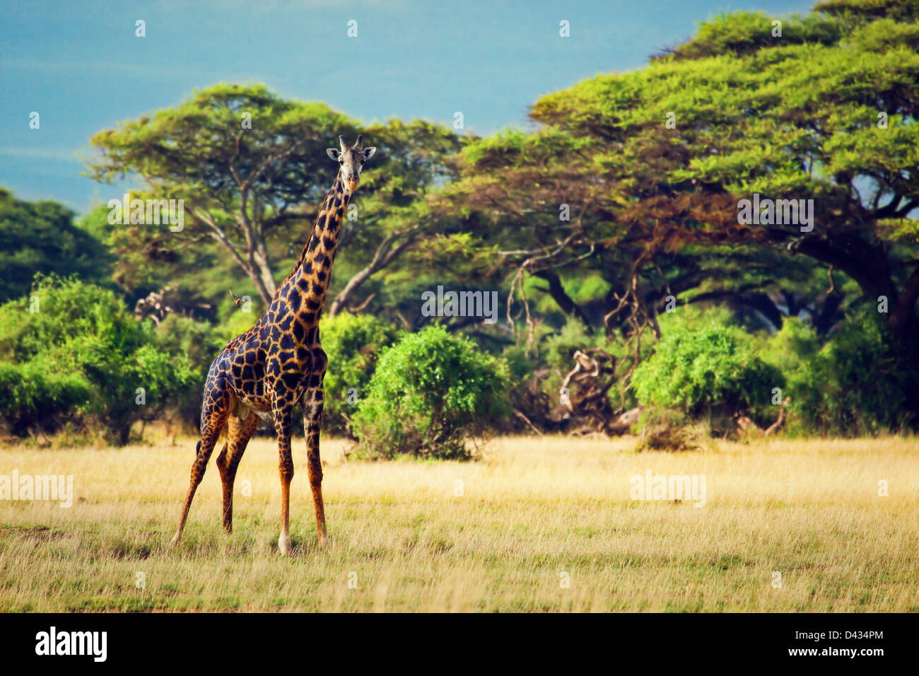 Single giraffe on savanna. Safari in Amboseli, Kenya, Africa - Stock Image