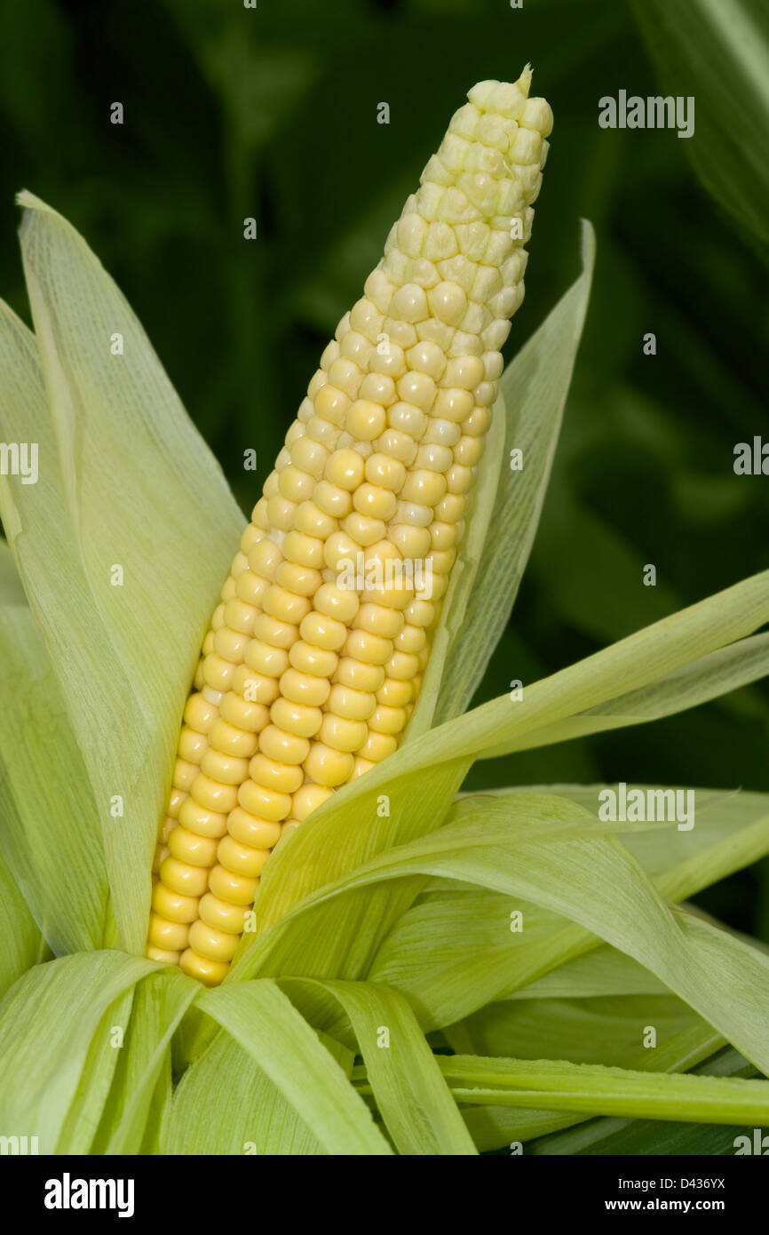 great corn theme showing a mostly unwrapped fresh yellow corn cob surrounded with green leaves in dark blurry back - Stock Image