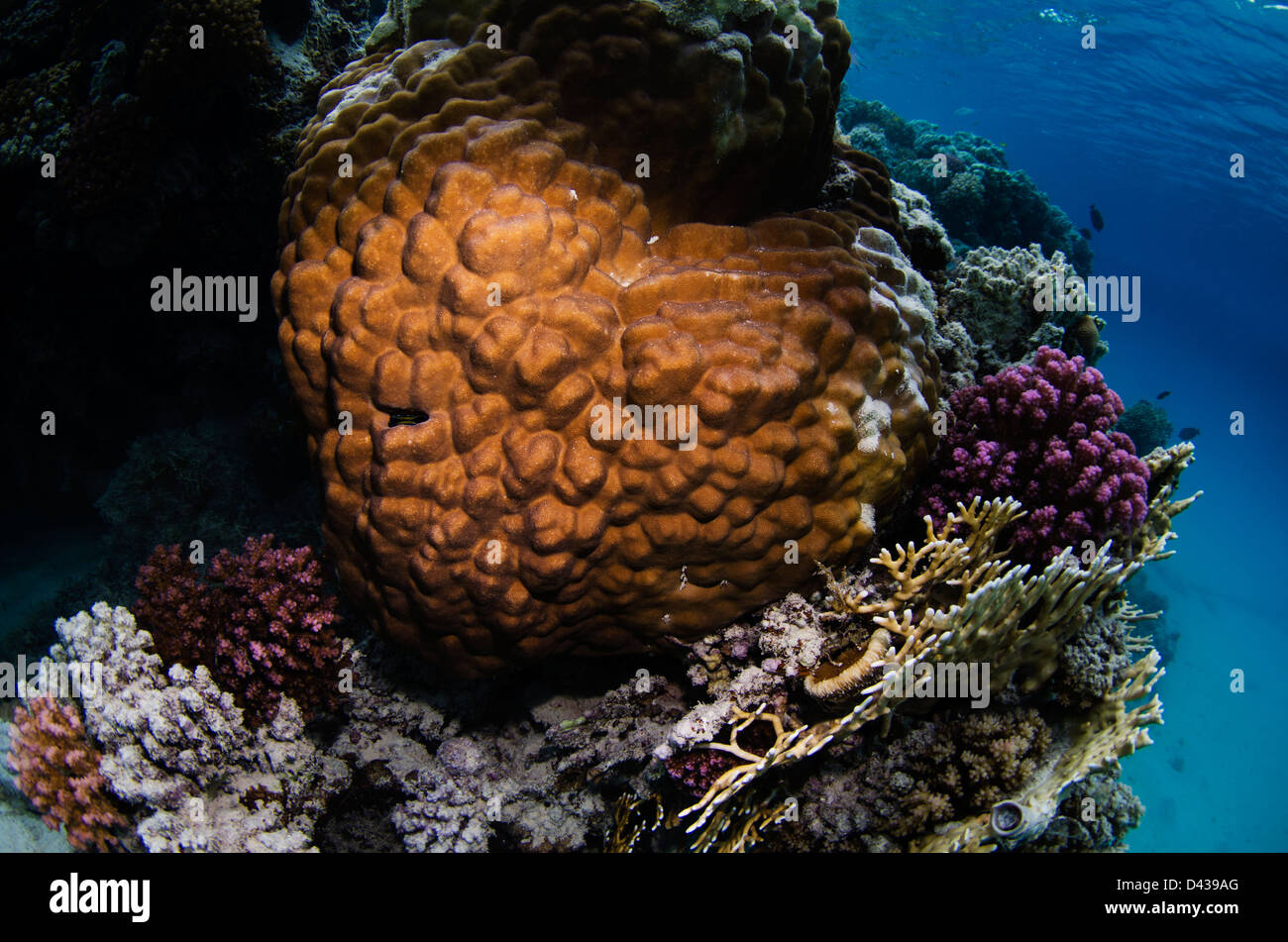 A heart shaped Favia coral. - Stock Image