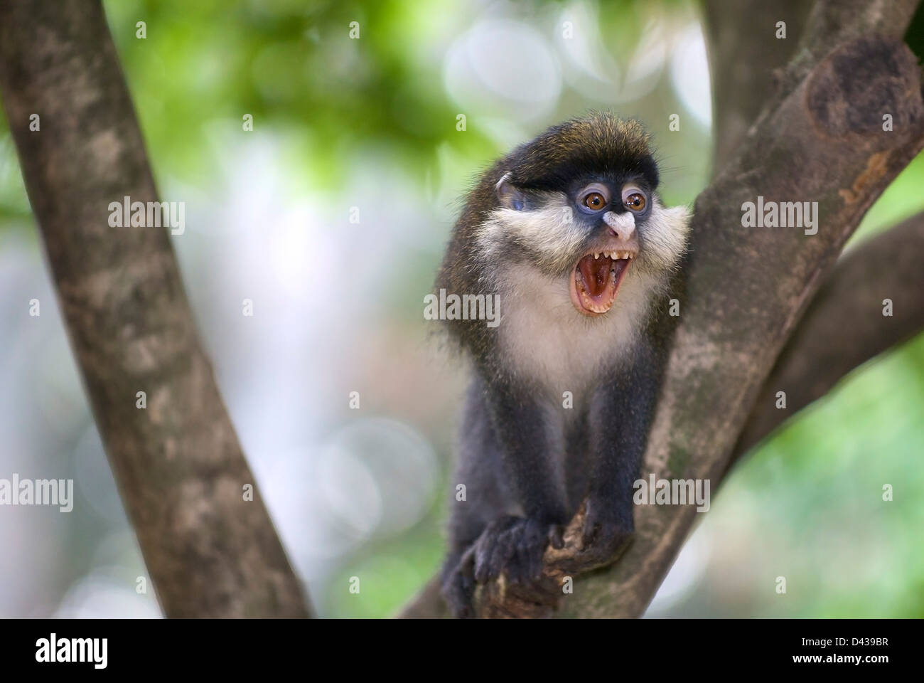 A Red-Tailed Monkey, Cercopithecus ascanius, vocalizing aggressively at other members of the troupe. Stock Photo