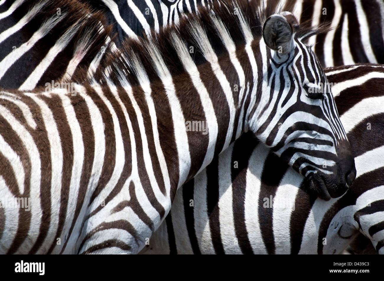 Plains Zebra, Equus quagga, grouping together in the Masai Mara reserve, Kenya Stock Photo