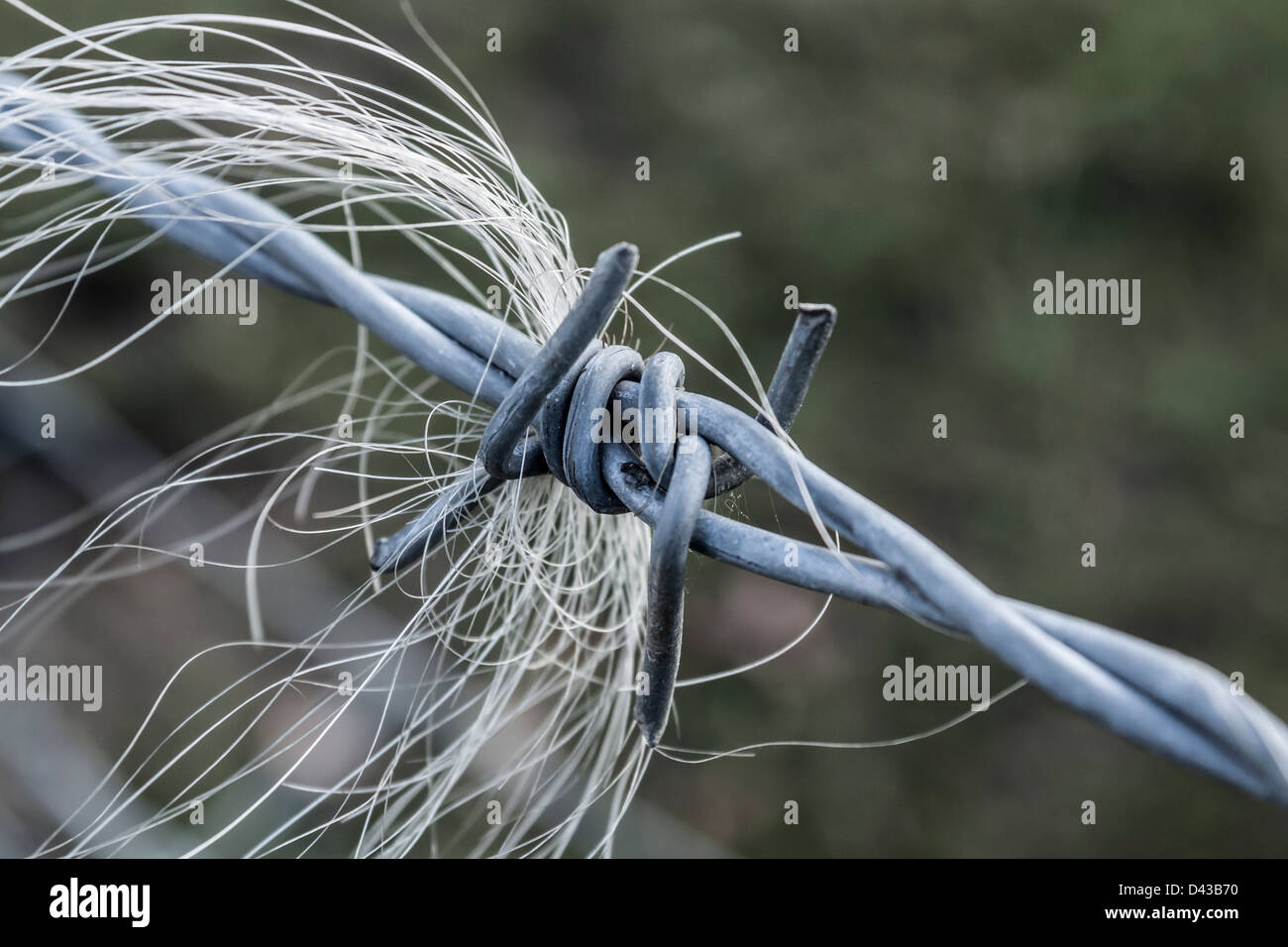 Horse hair caught in barbed wire - Stock Image