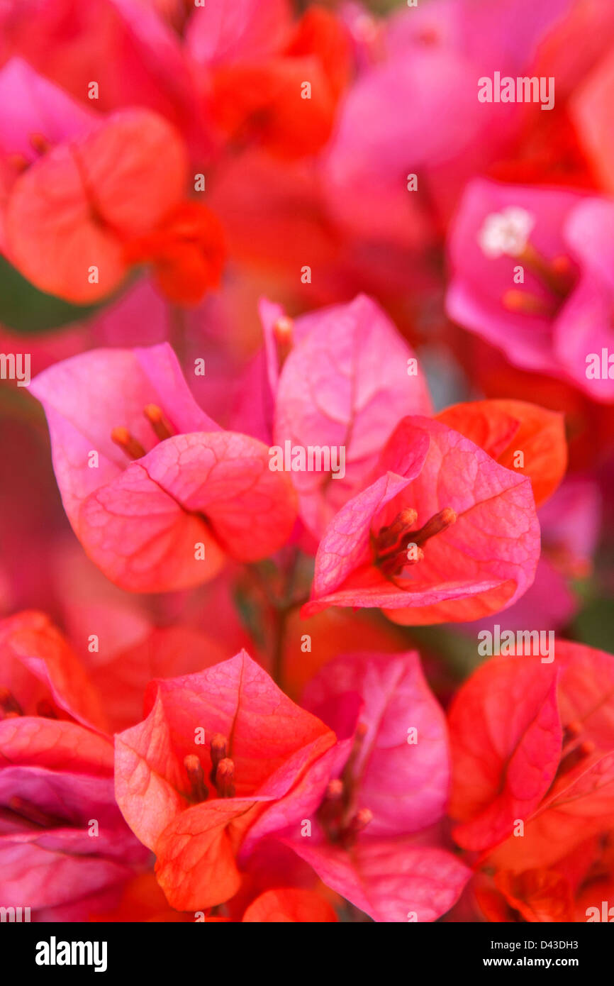 Pink blooming bougainvillea - Stock Image