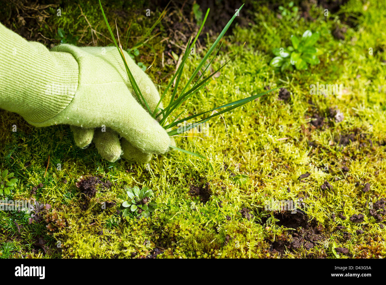 Horizontal photo of gloved hand pulling grass weed out of garden - Stock Image