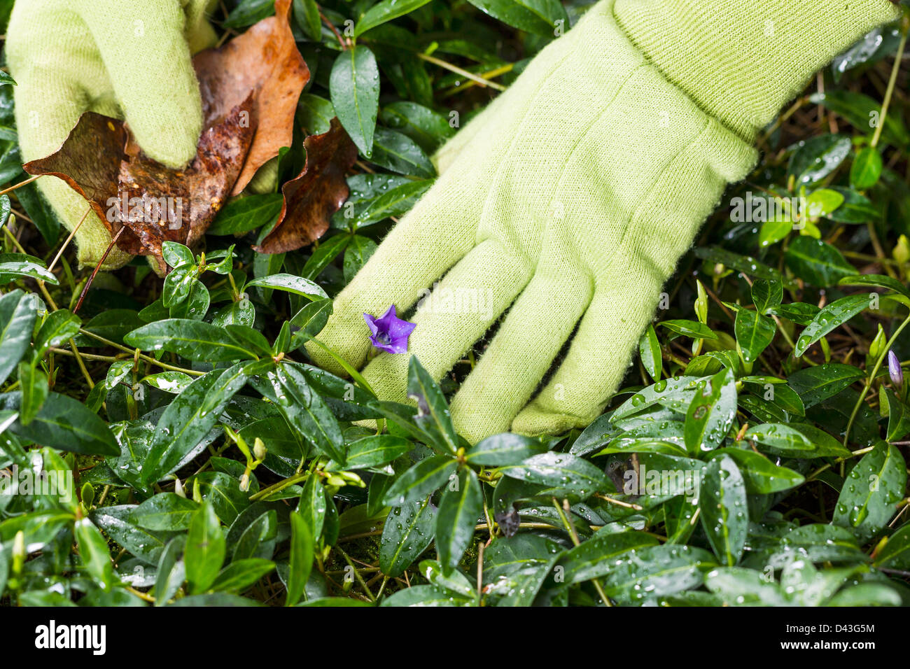Horizontal photo of gloved hands cleaning flower bed with old leaves in hand - Stock Image