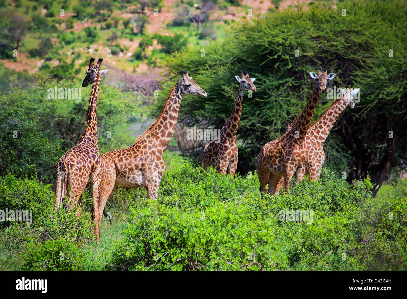 Group of giraffes in the bush in Tsavo West National Park, Kenya, Africa - Stock Image