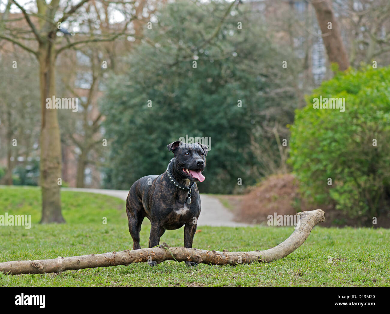 STAFFORDSHIRE BULL TERRIER DOG (CANIS LUPUS FAMILIARIS) IN PARK. UK - Stock Image