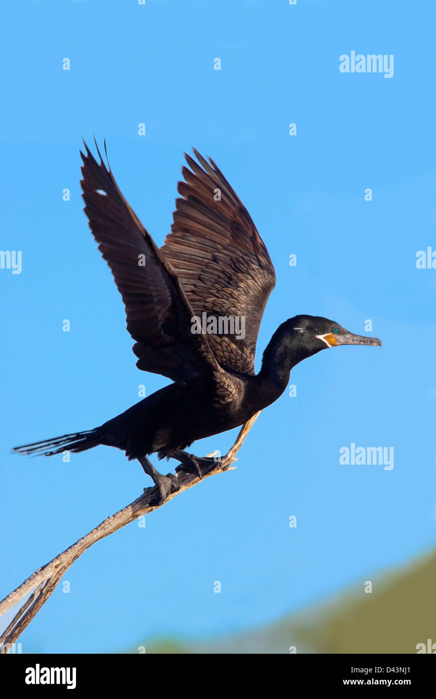 Neotropic Cormorant Phalacrocorax brasilianus Bosque dle Apache National Wildlife Refuge, New Mexico, United States - Stock Image