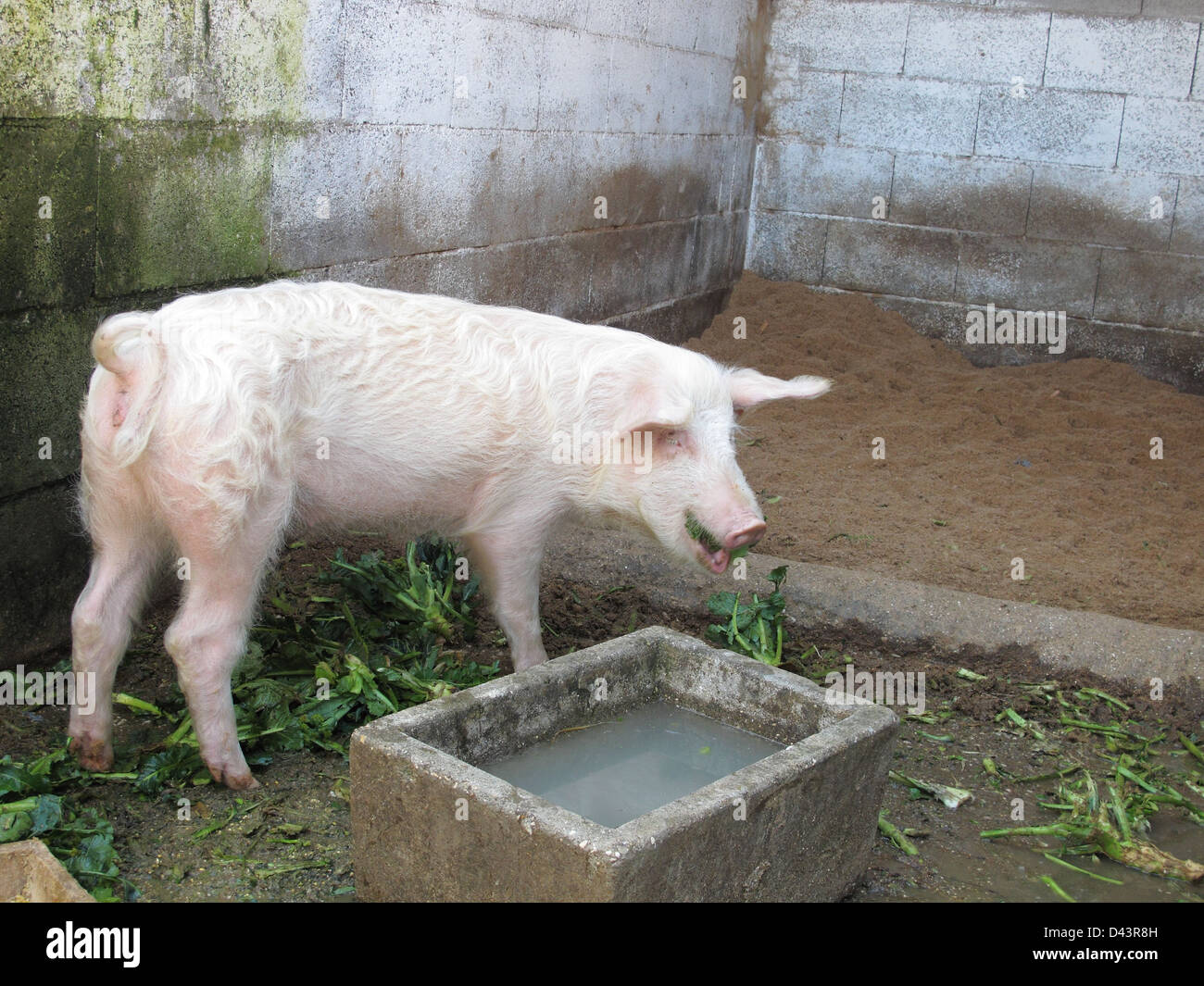Pig in a stable eating - Stock Image