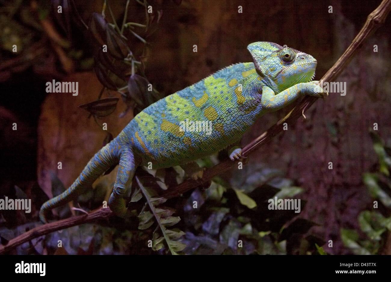 Yemen or Veiled Chameleon (chamaeleo calyptratus) - Stock Image