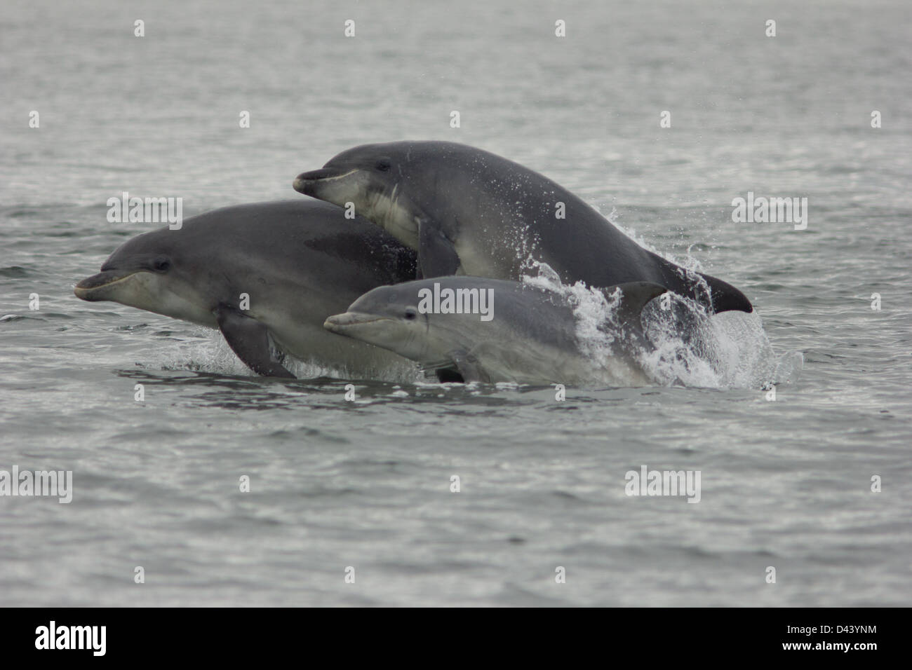 Bottlenose Dolphins Jumping at Chanonry Point. - Stock Image