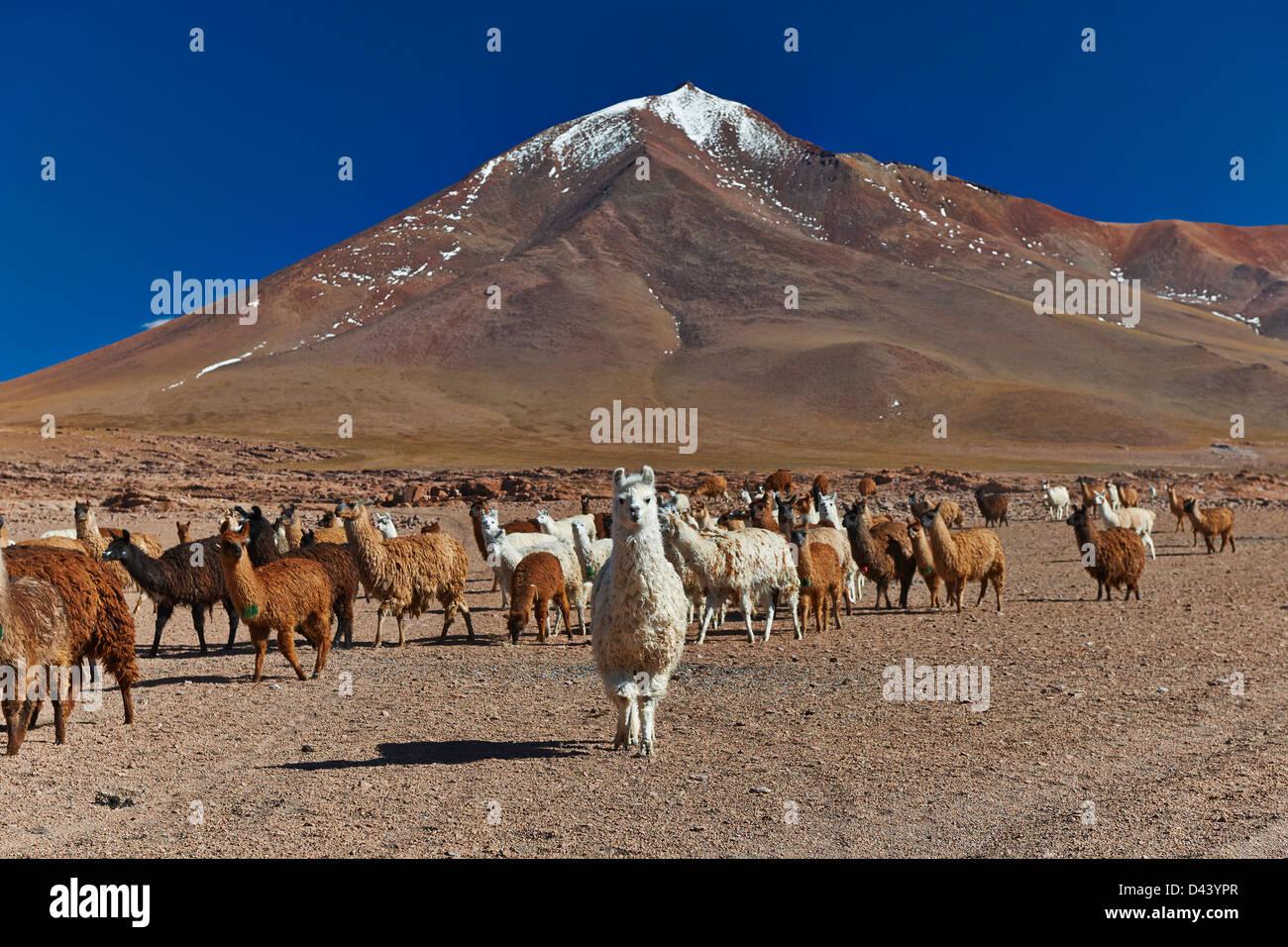 Llama (Lama glama) on Altiplano, Bolivia, South America - Stock Image
