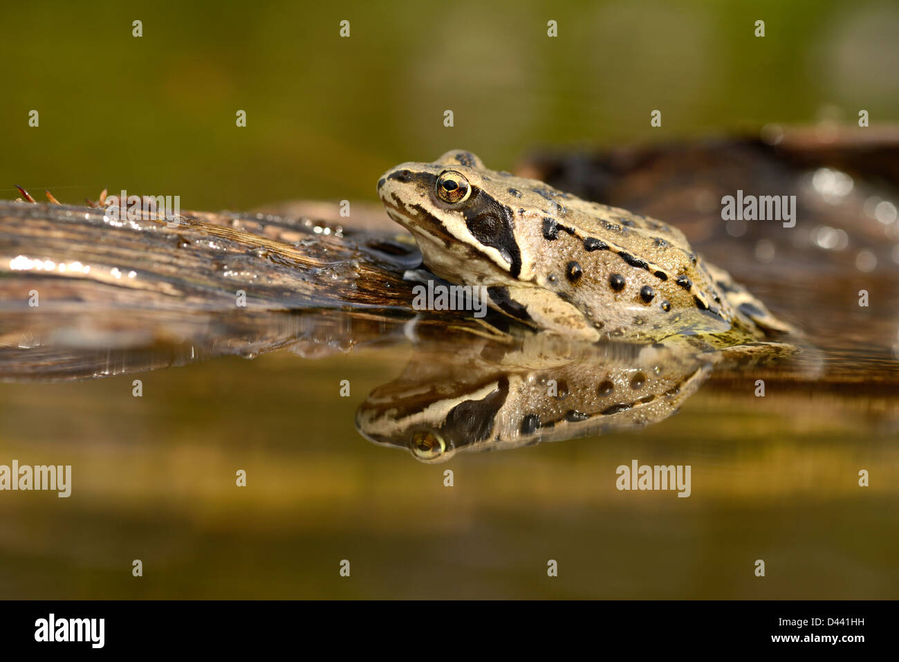Common Frog (Rana temporaria) sat on log in the water, Oxfordshire, England, August - Stock Image